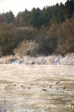 Pájaros en un río congelado Fotos de archivo libres de regalías