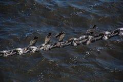Pájaros en una cadena del amarre imagen de archivo libre de regalías