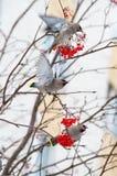 Pájaros en una rama del serbal Imagen de archivo