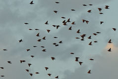 Pájaros en vuelo Fotos de archivo libres de regalías