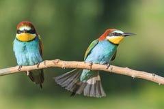 Pájaros enojados en una rama Imágenes de archivo libres de regalías