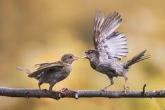 Pájaros enojados que luchan en una rama de árbol con sus alas extendidas Imagen de archivo libre de regalías