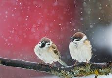 Pájaros enojados que se sientan en una rama en la nieve en parque en el invierno Imagen de archivo libre de regalías