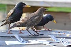 Pájaros esterlinas que comen las migas de una tabla Foto de archivo