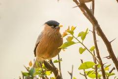 Pájaros - estornino de Brahminy, parque nacional de Keoladeo Ghana, Bharatpur, la India fotografía de archivo libre de regalías