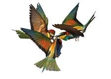 Pájaros exóticos de la batalla épica aislados en blanco Imagenes de archivo