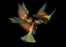 Pájaros exóticos de la batalla épica aislados en negro Foto de archivo