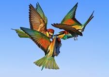 Pájaros exóticos de la batalla épica en el cielo Imágenes de archivo libres de regalías