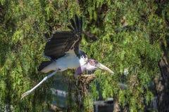 Pájaros exóticos, volando Fotografía de archivo libre de regalías