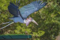 Pájaros exóticos, volando Fotografía de archivo