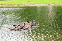 Pájaros, familia de gansos Imágenes de archivo libres de regalías