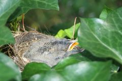 Pájaros hambrientos en una jerarquía Fotos de archivo