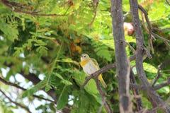 Pájaros hawaianos, familia del Zosteropidae Imágenes de archivo libres de regalías