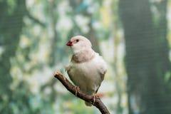 Pájaros hermosos Astrild Estrildidae que se sienta en una rama Imagen de archivo libre de regalías