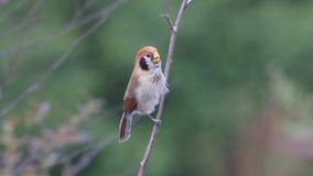 Pájaros hermosos de los guttaticollis de Parrotbill Paradoxornis del punto-breasted de Tailandia almacen de video