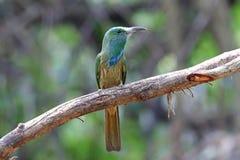 pájaros hermosos del Abeja-comedor del athertoni Azul-barbudo de Nyctyornis de Tailandia Imagenes de archivo