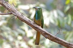 pájaros hermosos del Abeja-comedor del athertoni Azul-barbudo de Nyctyornis de Tailandia Fotografía de archivo