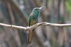 pájaros hermosos del Abeja-comedor del athertoni Azul-barbudo de Nyctyornis de Tailandia Fotografía de archivo libre de regalías