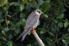 Pájaros hermosos del amurensis de Falco del halcón de Amur de Tailandia fotos de archivo libres de regalías