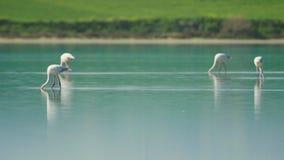 Pájaros hermosos del flamenco con las reflexiones, caminando en el lago salt de Larnaca en Chipre almacen de video