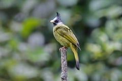 Pájaros lindos de los canifrons con cresta de Finchbill Spizixos de Tailandia Fotos de archivo