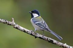 Pájaros lindos de menor importancia del Parus japonés del Tit de Tailandia Fotografía de archivo libre de regalías