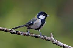 Pájaros lindos de menor importancia del Parus japonés del Tit de Tailandia Fotografía de archivo
