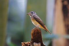 Pájaros lindos del cazamoscas del ferruginea ferruginoso del Muscicapa de Tailandia Fotos de archivo libres de regalías
