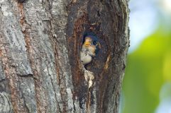 Pájaros lindos del fringillarius negro-thighed de Falconet Microhierax de Tailandia Fotos de archivo