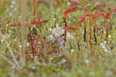 Pájaros lindos del pequeño de la golondrina de mar de Sternula bebé de los albifrons Imagen de archivo