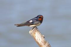 Pájaros lindos del rustica del Hirundo del trago de granero de Tailandia Imagen de archivo