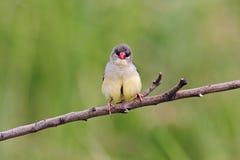 Pájaros lindos femeninos del amandava rojo de Avadavat Amandava de Tailandia Imagenes de archivo