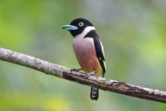 Pájaros lindos femeninos del ochromalus Negro-y-amarillo de Broadbill Eurylaimus de Tailandia Foto de archivo libre de regalías