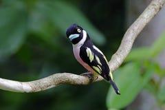 Pájaros lindos femeninos del ochromalus Negro-y-amarillo de Broadbill Eurylaimus de Tailandia Foto de archivo