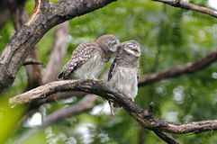 Pájaros lindos manchados del brama del Athene del mochuelo de Tailandia Fotografía de archivo libre de regalías