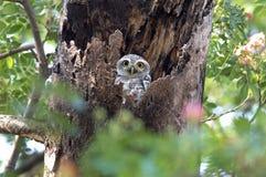 Pájaros lindos manchados del brama del Athene del mochuelo en hueco del árbol Fotos de archivo