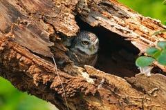 Pájaros lindos manchados del brama del Athene del mochuelo en hueco del árbol Imagenes de archivo