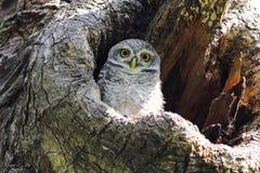 Pájaros lindos manchados del brama del Athene del mochuelo en hueco del árbol fotografía de archivo