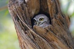 Pájaros lindos manchados del brama del Athene del mochuelo en hueco del árbol Imagen de archivo libre de regalías