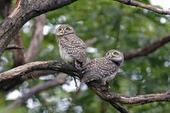 Pájaros lindos manchados del brama dos del Athene del mochuelo de Tailandia Fotos de archivo