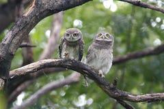 Pájaros lindos manchados del brama dos del Athene del mochuelo de Tailandia Fotografía de archivo