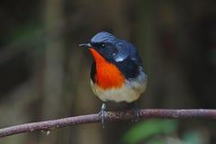 Pájaros lindos masculinos de los pectardens del Luscinia de Firethroat de Tailandia Fotos de archivo libres de regalías
