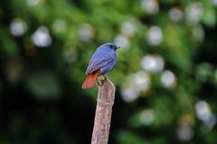 Pájaros lindos masculinos del agua del fuliginosa plomizo de Redstart Rhyacornis de Tailandia Foto de archivo