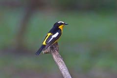 Pájaros lindos masculinos del cazamoscas del zanthopygia amarillo-rumped de Ficedula de Tailandia Fotos de archivo libres de regalías