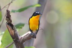 Pájaros lindos masculinos del cazamoscas del zanthopygia amarillo-rumped de Ficedula de Tailandia Imagen de archivo