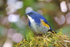 Pájaros lindos masculinos del rufilatus Himalayan de Bluetail Tarsiger de Tailandia Fotos de archivo libres de regalías