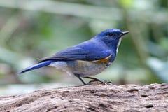 Pájaros lindos masculinos del rufilatus Himalayan de Bluetail Tarsiger de Tailandia Foto de archivo libre de regalías