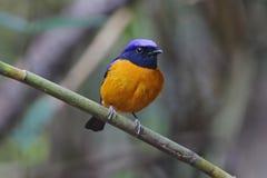 pájaros lindos masculinos Rufo-hinchados del sundara de Niltava Niltava de Tailandia Foto de archivo