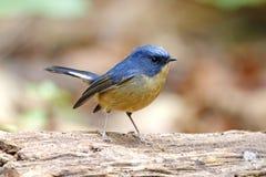 pájaros lindos masculinos tricolores de Ficedula del cazamoscas Pizarroso-azul de Tailandia Imagen de archivo libre de regalías
