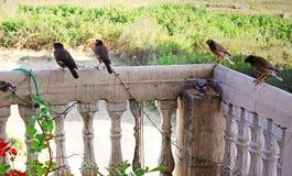 Pájaros Maina India Imagen de archivo libre de regalías